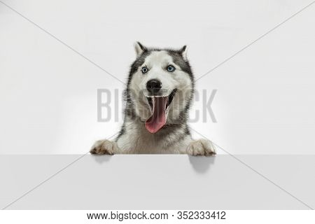 Crazy Happy. Husky Companion Dog Is Posing. Cute Playful White Grey Doggy Or Pet Playing On White St