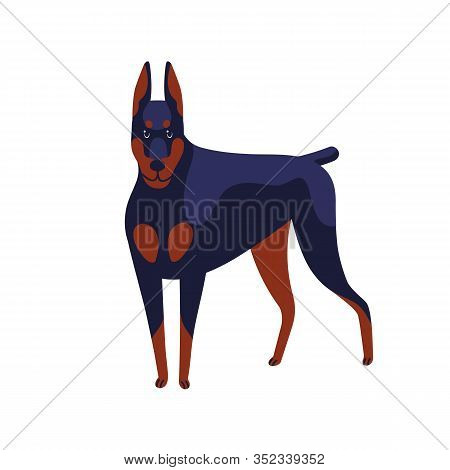 Strong Colored Doberman Pinscher Dog Breed Vector Flat Illustration. Muscular Angry Domestic Animal