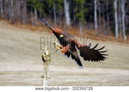 The Harris's Hawk (parabuteo Unicinctus) Formerly Known As The Bay-winged Hawk Or Dusky Hawk Flying.