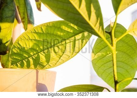 Closeup Of Fresh, Green Avocado Stalk With Leaves Cultivated In A Pot In A Balcony. Avocado Trees Gr