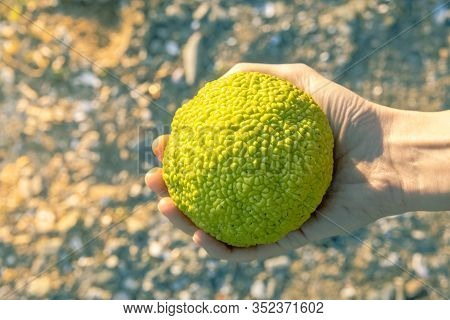 Female Hand Holding A Maclura Pomifera, Commonly Known As The Osage Orange, Hedge, Or Hedge Apple.