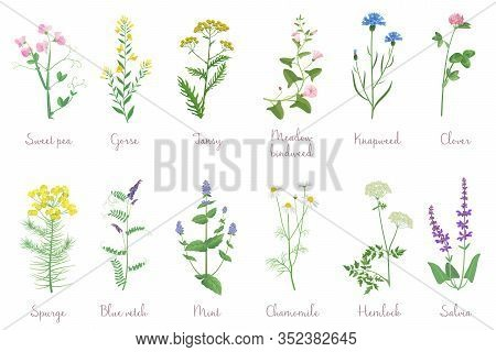 Wild Herbs Set With Names Isolated. Wildflowers, Herbs, Leafs. Garden And Wild Foliage, Flowers, Bra