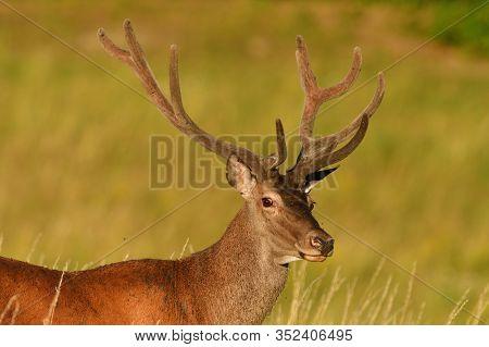 Portrait Of Deer Head With Growing Antlers In Spring On Green Pasture