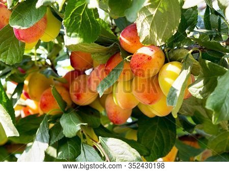 Plum Tree With Ripe Plum Fruit. Branches With Juicy Fruits On Sunset Light. Close Up Of The Plums Ri