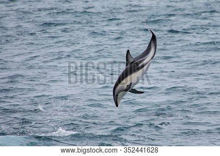 Dusky Dolphin Leaing Out Of The Water Near Kaikoura, New Zealand. Kaikoura Is A Popular Tourist Dest