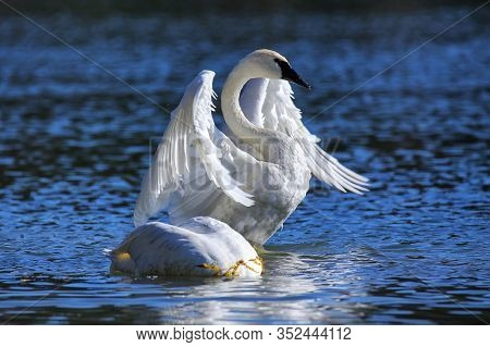 Trumpeter Swan Spreading Wings, Yellowstone National Park, Wyoming, Usa