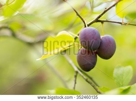Fresh Blue Plums. Branch Of Plum Fruit. Scene Of Garden Plum Tree. Orchard Plums Fruit. Ripe Fruits