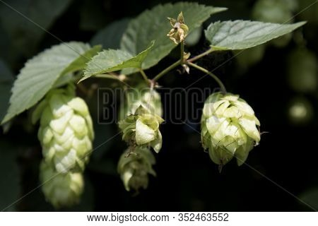 Cultivation Of Hops In A Field In Bavaria, Germany