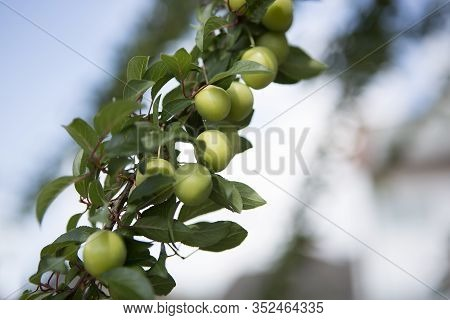Mirabelles Grow On A Tree In Springtime