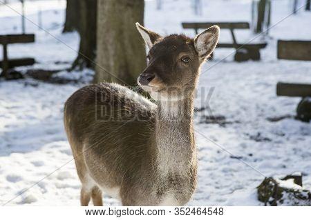 Portrait Of A Roe Deer In The Sunlight