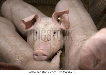 Three Young Pigs In A Pigsty Indoor