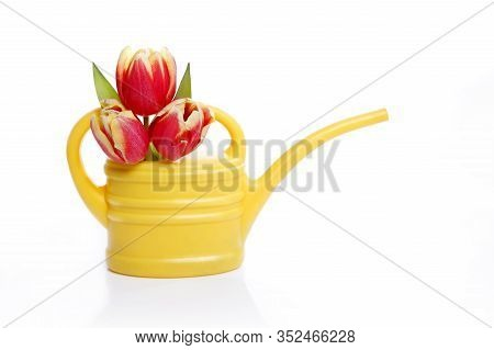 Yellow Watering Can With Orange Tulips, Springtime