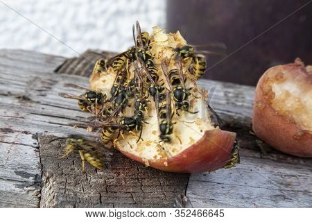 A Lot Of Wasps On A Sweet Apple Eating