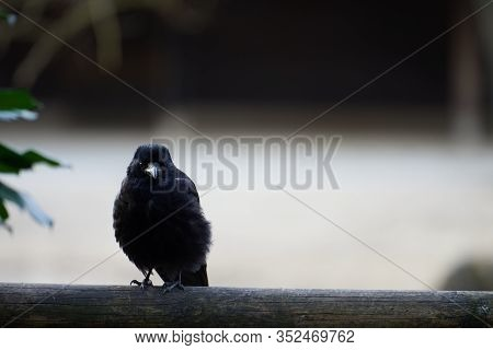 A Cute Young Carrion Crow (corvus Corone) Staring At The Camera On A Wooden Balcony Rail