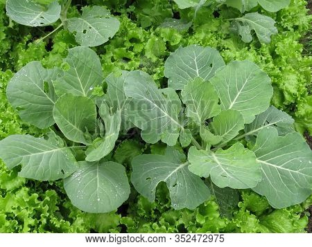 Young White Cabbage In The Garden With Young Salad, Covered With Dew, Cabbage Field, Freshly Growing