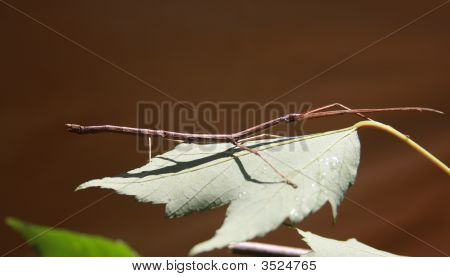 Walking Stick, Phasmida