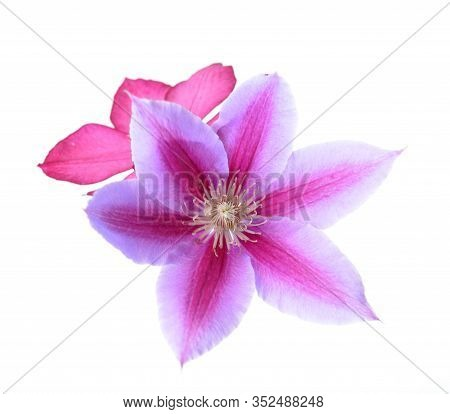 Beautiful Single Clematis Isolate On White Background