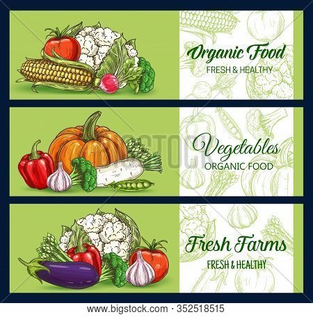 Vegetables And Farm Veggies, Vector Sketch Banners Of Market And Grocery Store. Cauliflower And Broc