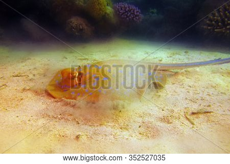 The Bluespotted Ribbontail Ray (taeniura Lymma) Swirling Sand At The Bottom To Hide In The Sand. Sti