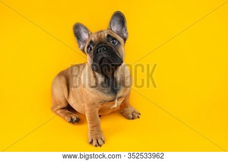 Cute French Bulldog Puppy On A Yellow Background.