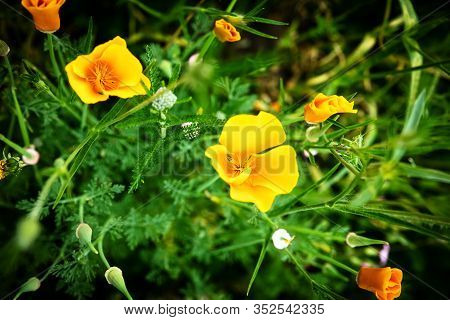 Wallpaper Or Background Of Yellow California Poppy Blossoms, Topview Closeup