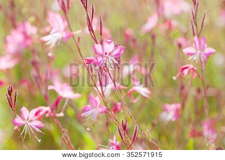 Small flowers of light pink color (Siskiyou Pink Gaura)  in the sunlight at summer morning.   Selective focus.