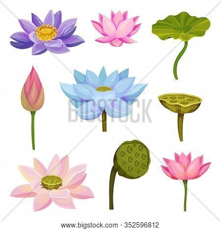 Lotus Aquatic Plant With Large Showy Flowers And Leaves Isolated On White Background Vector Set