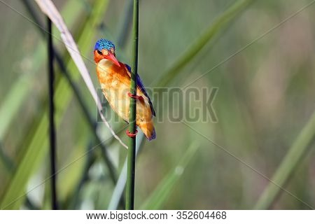 Malachite Kingfisher (corythornis Cristatus) Sitting On A Reed With Green Backround By The River Nil