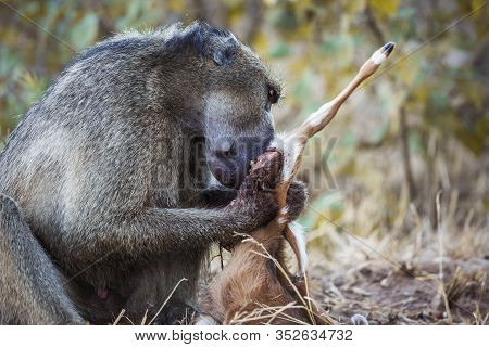 Chacma Baboon Male Scavenging A Baby Antelope In Kruger National Park, South Africa ; Specie Papio U