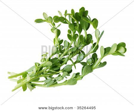 Bundle of Bacopa Bitter Herbs isolated over white poster