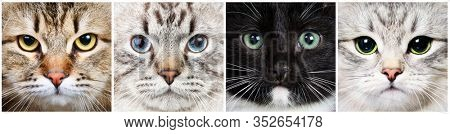 Four longhair cats of different breeds -Calico Tabby Siberian, Neva Masquerade Colorpoint, Black and White Tuxedo and Silver Shaded Siberian