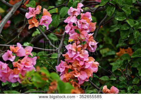 A Baglafecht Weaver (ploceus Baglafecht) Hiding Behind A Colorful Blossom Of Bougainvillea Flowers