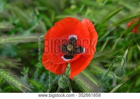 Red Poppy Flower On A Background Of Green Grass