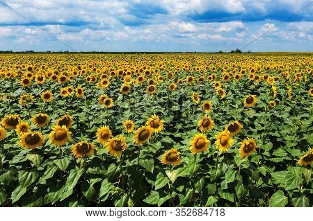Blooming Sunflower Field High Angle View On Sunny Summer Afternoon. Cultivated Helianthus Annuus Or