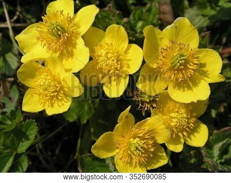 Caltha Palustris, Marsh-marigold And Kingcup Five Petal-like, Brightly Colored Yolk Yellow Inverted