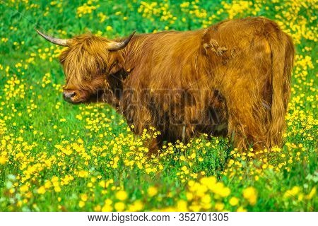 Side View Of An Adult Highland Red Cow Originally From Scotland Highlands, Sitting In A Flowery Fiel