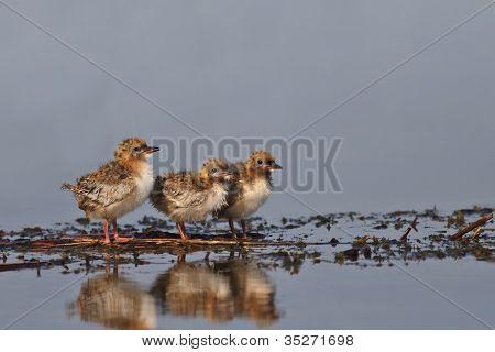 group of three common tern chick - sterna hirundo poster