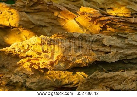 Tobacco Leaf, Yellow Brown Cigarette Material. Golden Sun Dried Tobacco Leaves. Tobacco Leaf Tobacco