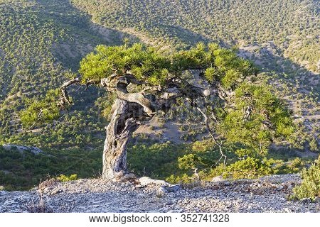 Relict Pine In The Crimean Mountains. Mount Sokol, Surroundings Of Sudak.