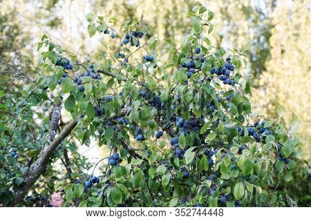 Prunus Spinosa, Blackthorn, Or Sloe. The Fruits Of Blackthorn. Prunus Spinosa. Prunus Spinosa Berrie