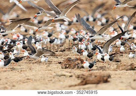 The African Skimmer (rynchops Flavirostris), Skimmer Flock And Gulls Over The African River Bank. Bi