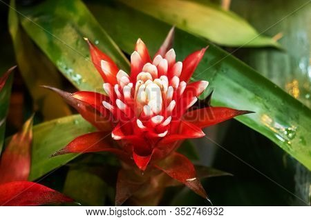 Red Guzmania Flowers Growing In A Tropical Greenhouse.