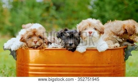 A Brown Metal Trough From Which Many Cute Shih-poo Dog Puppies Peep