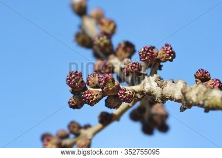 Common Ash Branch With Flower Buds - Latin Name - Fraxinus Excelsior