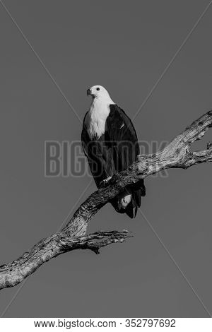 Mono African Fish Eagle In Sunshine On Branch