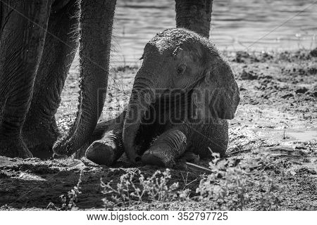 Mono Baby Elephant In Mud Beside Mother