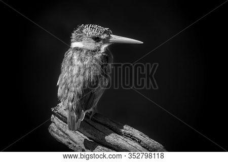 Mono Malachite Kingfisher On Branch Facing Camera