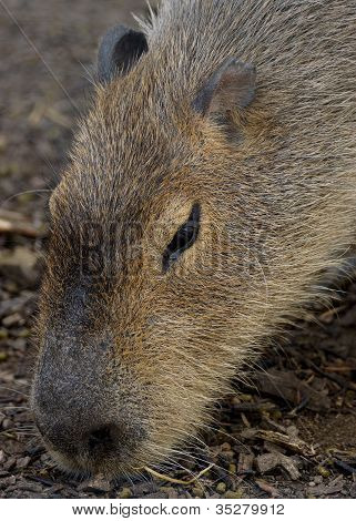 Portrait of an adult Capybara