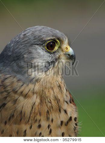 Kestrel / Falco tinnunculus