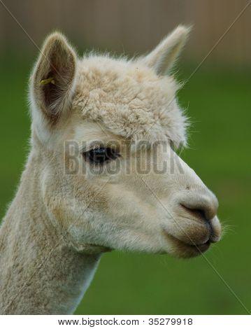 Alpaca / Llama Profile